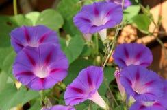 blommar härlighetmorgon Arkivbilder
