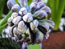 blommar hyacint Arkivfoton