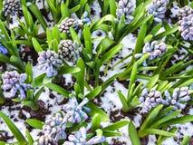 blommar hyacint Royaltyfria Bilder