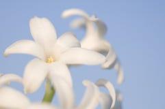 blommar hyacintet Arkivbild