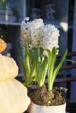blommar hyacintwhite Arkivfoto