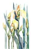 blommar illustrationirisvattenfärg Royaltyfri Foto