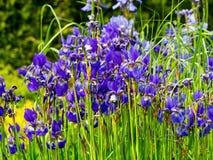 Blommar iriers i tr?dg?rden royaltyfria foton