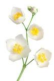 blommar jasminen Fotografering för Bildbyråer