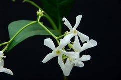 blommar jasminstjärnan Royaltyfria Foton