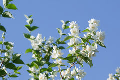 blommar jasminwhite Royaltyfri Bild