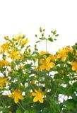 blommar john s st-wort Royaltyfri Fotografi