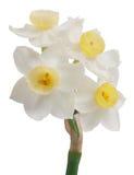blommar jonquil Royaltyfri Fotografi