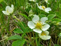 blommar jordgubbewhite arkivbilder