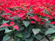 blommar julstjärnared royaltyfria bilder