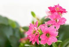 blommar kalanchoe Royaltyfri Bild