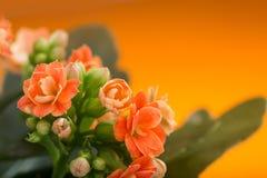 blommar kalanchoe På en orange bakgrund Arkivfoto