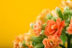 blommar kalanchoe På en orange bakgrund Royaltyfria Foton