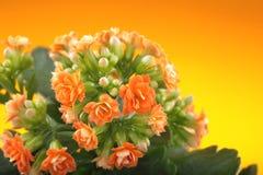 blommar kalanchoe På en orange bakgrund Arkivfoton