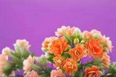 blommar kalanchoe På en orange bakgrund Royaltyfri Foto