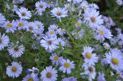 Blommar kamomill Arkivfoto
