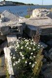Blommar kamomillen, stenar, havet Arkivbild