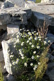 Blommar kamomillen, stenar, havet Royaltyfria Foton