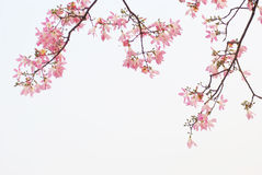 blommar kapokfjädern Royaltyfria Bilder