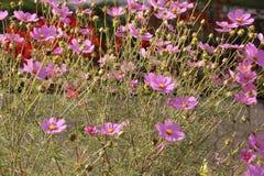 Blommar kosmos Fotografering för Bildbyråer