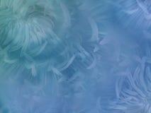 Blommar krysantemumet på oskarp blått-turkos bakgrund Blått blommar krysantemumet blom- collage vita tulpan för blomma för bakgru royaltyfri foto