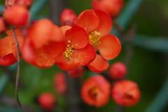 Blommar kvitten. Royaltyfri Fotografi