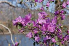 blommar labrador tea royaltyfri fotografi