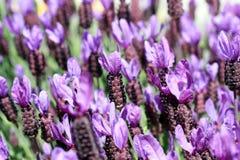blommar lavendar Royaltyfria Bilder