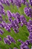 blommar lavendel Royaltyfri Bild