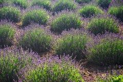 blommar lavendel Arkivfoton
