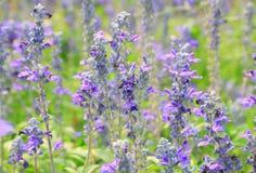 blommar lavendel Arkivbilder