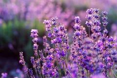 blommar lavendelpurple fotografering för bildbyråer