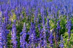 blommar lavendelpurple Arkivfoto