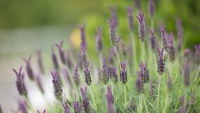 blommar lavendelspanjor Royaltyfri Bild