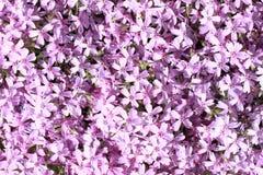 blommar lila Royaltyfri Fotografi