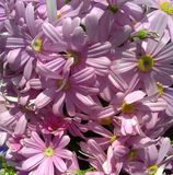 blommar lila Arkivfoto