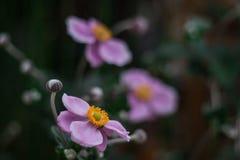 blommar lila Fotografering för Bildbyråer
