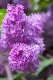 blommar lila purple Royaltyfri Foto