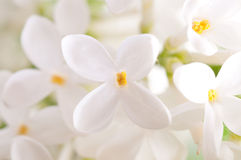 blommar lilan Royaltyfri Foto