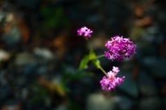 blommar lilan Arkivfoto