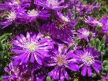 blommar lilan Arkivbilder