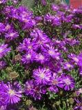 blommar lilan Royaltyfria Bilder