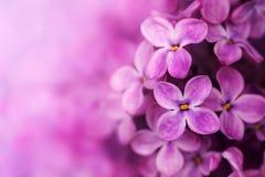 blommar lilan Royaltyfri Fotografi