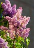 blommar lilan Swallowtail fjärilsmachaon arkivfoto