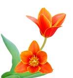 blommar liliaceaetulpan Arkivfoton