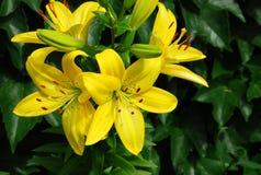 blommar liljan Arkivfoton