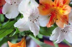 blommar liljan Royaltyfri Foto
