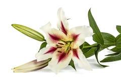 Blommar liljan, lat Liliumösterlänningbland Arkivbilder