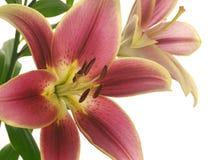 blommar liljar Arkivbild