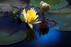 blommar liljavatten Arkivbild